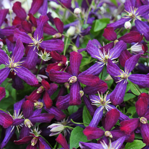 Clematis, Colour Paradise, Kitchener Waterloo