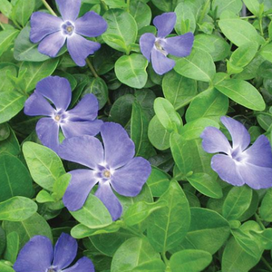 Vinca minor Bowles CUnningham, Colour Paradise, Kitchener Waterloo