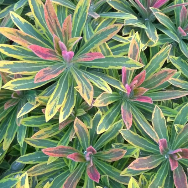 Euphorbia Ascot Rainbow, Colour Paradise, Kitchener Waterloo