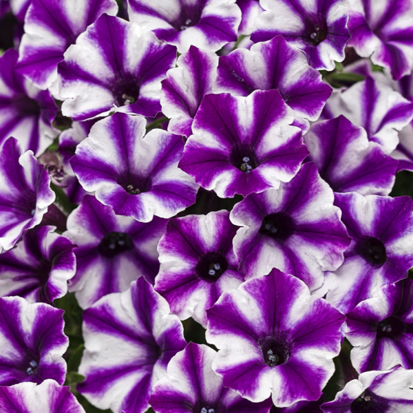 Supertunia Mini Vista 'Violet Star'