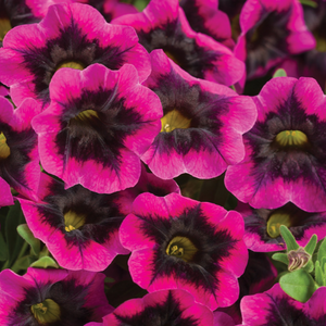 Calibrachoa Superbells 'Black Currant Punch'