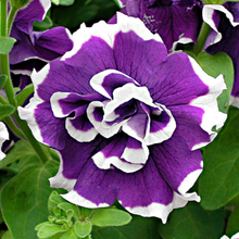 Load image into Gallery viewer, Petunia 'Pirouette'