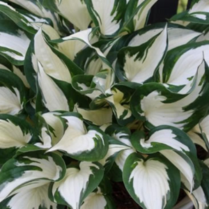 Hosta Fire and Ice, Colour Paradise, Kitchener Waterloo