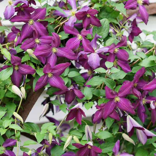 Clematis Happy Jack Purple, Colour Paradise, Kitchener Waterloo