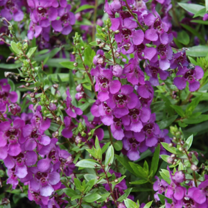 Angelonia Archangel Dark Purple,  Colour Paradise, Kitchener Waterloo