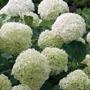 Hydrangea Incrediball, Colour Paradise, Kitchener Waterloo
