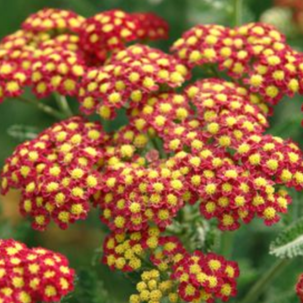 Achillea Strawberry Seduction, Colour Paradise, Kitchener Waterloo