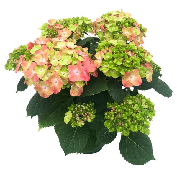 Hydrangea Green Lips, Colour Paradise, Kitchener Waterloo