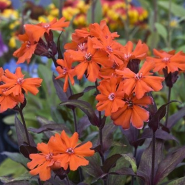Lychnis Orange Gnome, Colour Paradise, Kitchener Waterloo