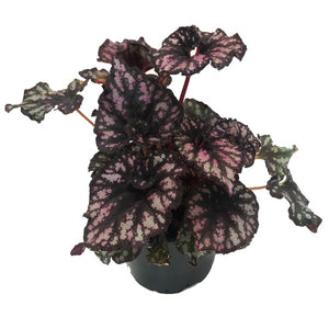 Begonia Rex Cumbia, Colour Paradise, Kitchener Waterloo