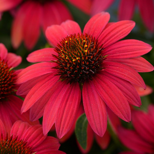 Echinacea Sombrero Baja Burgundy, Colour Paradise, Kitchener Waterloo