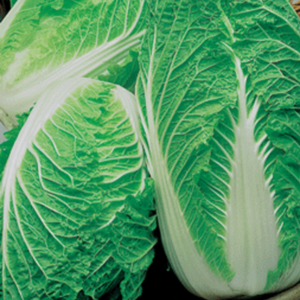Cabbage 'Chinese Blues'