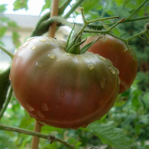 Tomato Black Krim, Colour Paradise, Kitchener Waterloo