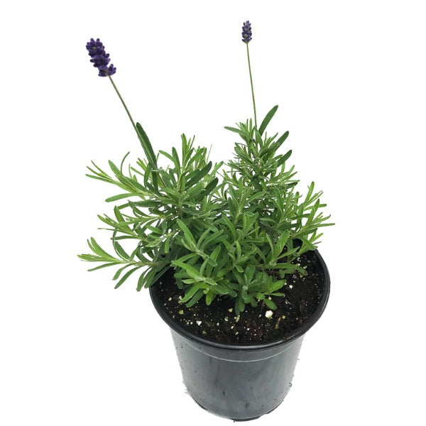 Lavandula Avignon Early Blue, Lavender, Colour Paradise, Kitchener Waterloo