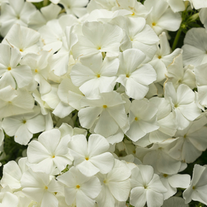 Phlox Intensia 'White'