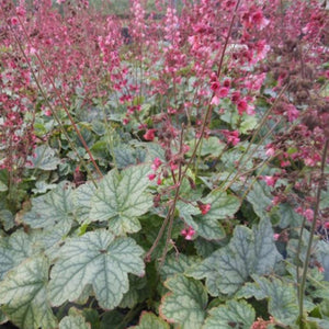 Heuchera Berry Timeless, Colour Paradise, Kitchener Waterloo