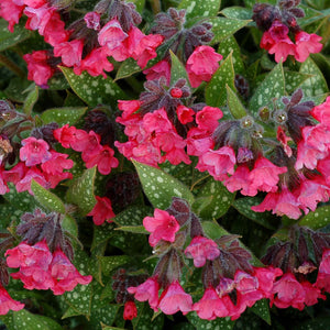 Pulmonaria Shrimps on the Barbie, Colour Paradise, Kitchener Waterloo