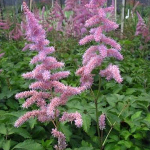 Astilbe Amethyst, Colour Paradise, Kitchener Waterloo
