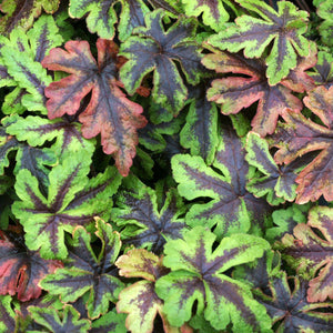 Tiarella Jeepers Creepers, Colour Paradise, Kitchener Waterloo