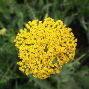 Achillea Cloth of Gold, Colour Paradise, Kitchener Waterloo