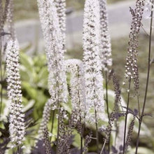 Load image into Gallery viewer, Actaea racemosa  'Hillside Black Beauty'