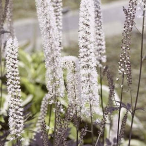Actaea racemosa  'Hillside Black Beauty'