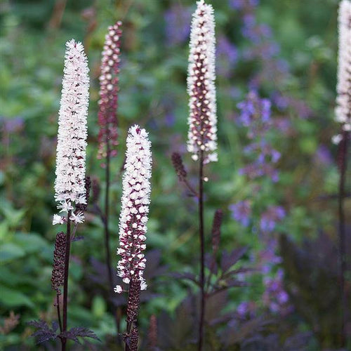 Actaea Pink Spike, Colour Paradise, Kitchener Waterloo