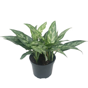 Aglaonema, Chinese Evergreen, Colour Paradise, Kitchener Waterloo, Shade Plant