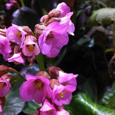 Bergenia Bressingham Ruby, Colour Paradise, Kitchener Waterloo