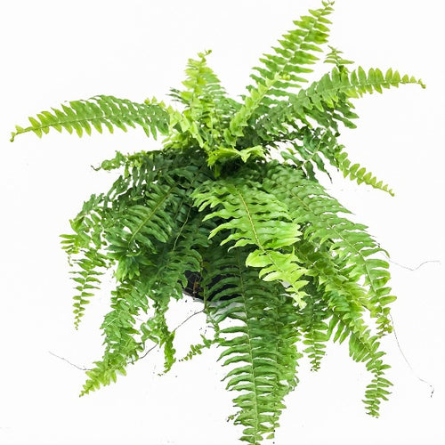 Boston Fern, Colour Paradise, Kitchener Waterloo