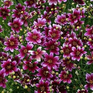 Coreopsis Berry Chiffon, Colour Paradise, Kitchener Waterloo