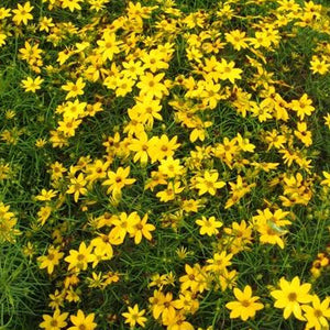 Coreopsis Zagreb, Colour Paradise, Kitchener Waterloo