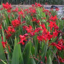 Load image into Gallery viewer, Crocosmia 'Lucifer'