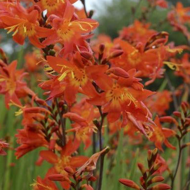 Crocosmia Prince of Orange, Colour Paradise, Kitchener Waterloo