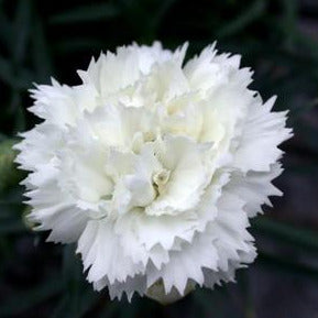 Dianthus Frosty, Colour Paradise, Kitchener Waterloo
