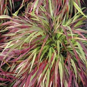 Hakonechloa BeniKaze, Colour Paradise, Kitchener Waterloo