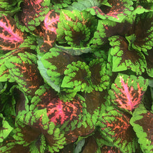 Load image into Gallery viewer, Coleus 'Kong'