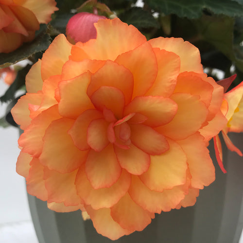 Begonia Illumination Orange , Colour Paradise, Kitchener Waterloo