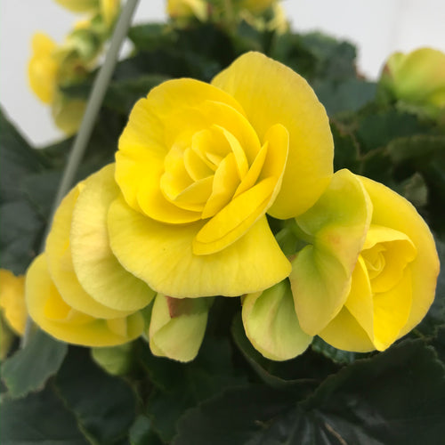 Begonia, Rieger Yellow, Colour Paradise, Kitchener Waterloo