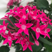 Load image into Gallery viewer, Pentas standard treeform pink, Colour Paradise, Kitchener Waterloo