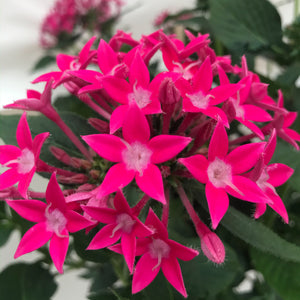 Pentas standard treeform pink, Colour Paradise, Kitchener Waterloo