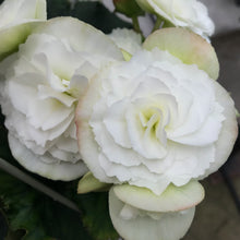 Load image into Gallery viewer, Begonia 'Rieger'