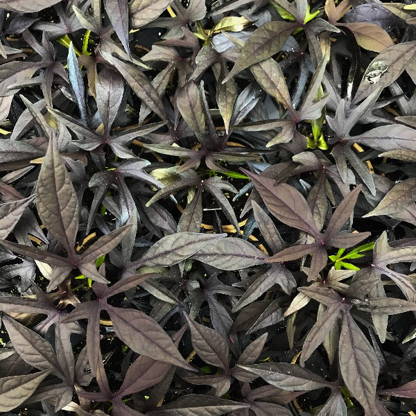 Potato Vine, Black