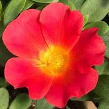 "Load image into Gallery viewer, Portulaca, 4"" pot"