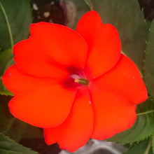 Load image into Gallery viewer, Sunpatiens