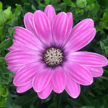Load image into Gallery viewer, Osteospermum 'Margarita'