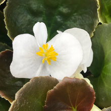 Load image into Gallery viewer, Begonia 'Fibrous'