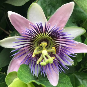 "Passionflower, 11"" hanging basket"