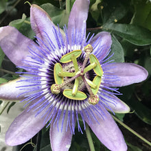 "Load image into Gallery viewer, Passionflower, 11"" hanging basket"