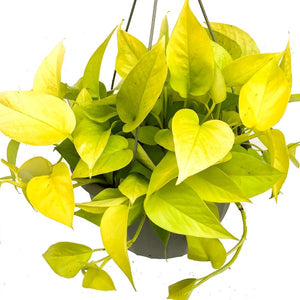 Pothos, Colour Paradise, Kitchener Waterloo